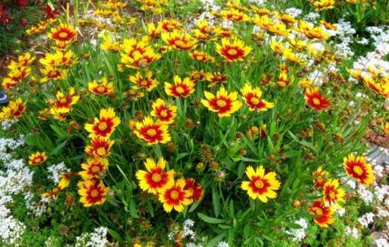 Выращивание кореопсиса: посадка семян на рассаду и в грунт