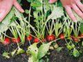 Выращивание редиса – сроки посева и основы ухода