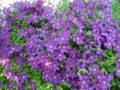Как посадить клематис весной правильно (саженец и семена), фото и видео