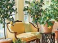 Лимон домашний – как ухаживать за цитрусом