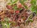 Посадка и уход за ягодной грядкой: почему сохнет клубника? Как предупредить засыхание клубники и бороться с этой бедой