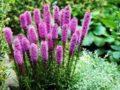 Лиатрис: особенности выращивания в открытом грунте. Описание и фото известных сортов лиатриса: красивого многолетника