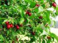 Ягодные кустарники: выращивание кизила на даче. Секреты посадки и ухода за кизилом для хорошей урожайности (фото)