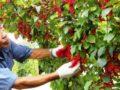 Декоративные лианы в саду: выращивание лимонника китайского. Все о посадке и уходе за лимонником (фото)