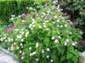 Мирабилис – выращиваем ночную красавицу сада. Добиваемся полного цветения мираблиса: секреты посадки, выращивание и уход