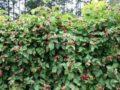 Ежемалина – что за ягода? Особенности выращивания ежемалины, сорта и их описание с фото