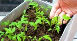 Как посадить томаты для открытого грунта: лучшие сорта, сроки посева.