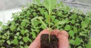Когда сажать рассаду капусты брокколи?