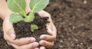 Как вырастить рассаду капусты в домашних условиях: когда сеять, особенности ухода с видео