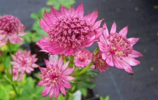 Астранция: посадка и уход. Выращиваем и украшаем сад «звездочками»