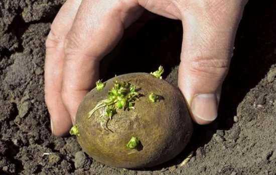 Посадка картофеля клубнями на приусадебном участке.
