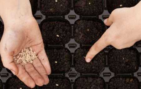 Помидоры на рассаду: сеем помидоры на рассаду в домашних условиях.