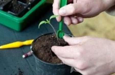 Пикировка рассады помидоров: как пикировать и что делать после пикировки.