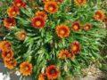 Как можно вырастить гацанию из семян и черенков