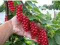 Как правильно обрезать куст красной смородины, чтобы урожай был большим