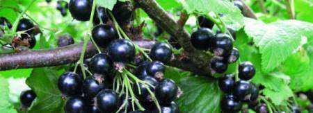 Подробное описание черной смородина сорта Селеченская