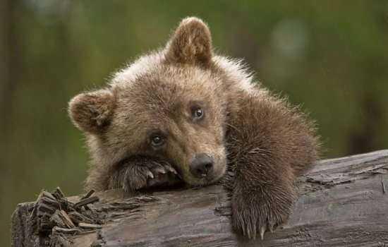 К чему снится медвежонок, который бегает по кругу, нападает, кусает или спит?