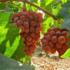 Как справиться с паутинным клещом на винограде