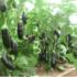 Выращивание баклажана из семян и рассады