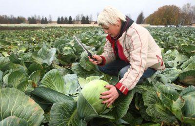 Как вырастить капусту Ринда безрассадным способом.