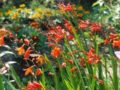 Японский гладиолус: как его сажать и ухаживать за красивым цветком