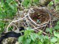 К чему снится гнездо: пустое, разорённое, с яйцами, с птенцами?