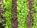 Что такое микрогрины и как вырастить их дома для употребления в пищу