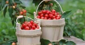 Лучшие зимостойкие сорта черешни для разных регионов России