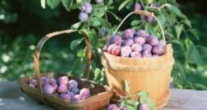 Лучшие самоплодные и урожайные сорта сливы для дачи