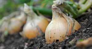 Верейский способ выращивания лука может увеличить урожайность почти в 2 раза