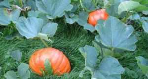 Посадка тыквы в открытый грунт, главные секреты и хитрости хорошего урожая