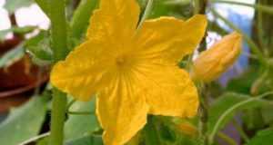Нет завязи на цветущих кабачках пустоцвет