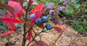 От чего на голубике краснеют листья