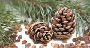 Калорийность, свойства, польза и вред кедровых орехов